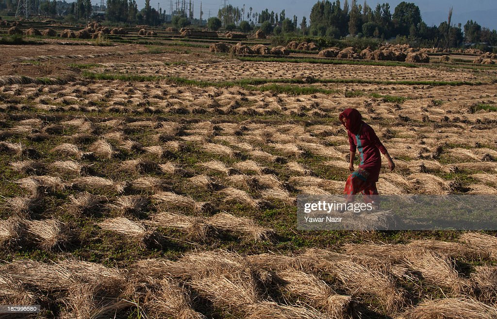 A farmer walks on a harvested paddy field October 03, 2013 in Sriinagar, the summer capital of Indian administered Kashmir, India. Paddy production has gone down in Kashmir during the recent years largely due to unplanned and rapid urbanisation, with the area under rice crop cultivation coming down from 122 hectares in 2010-11 to 112 hectares in 2013, according to an economic survey to the state government.