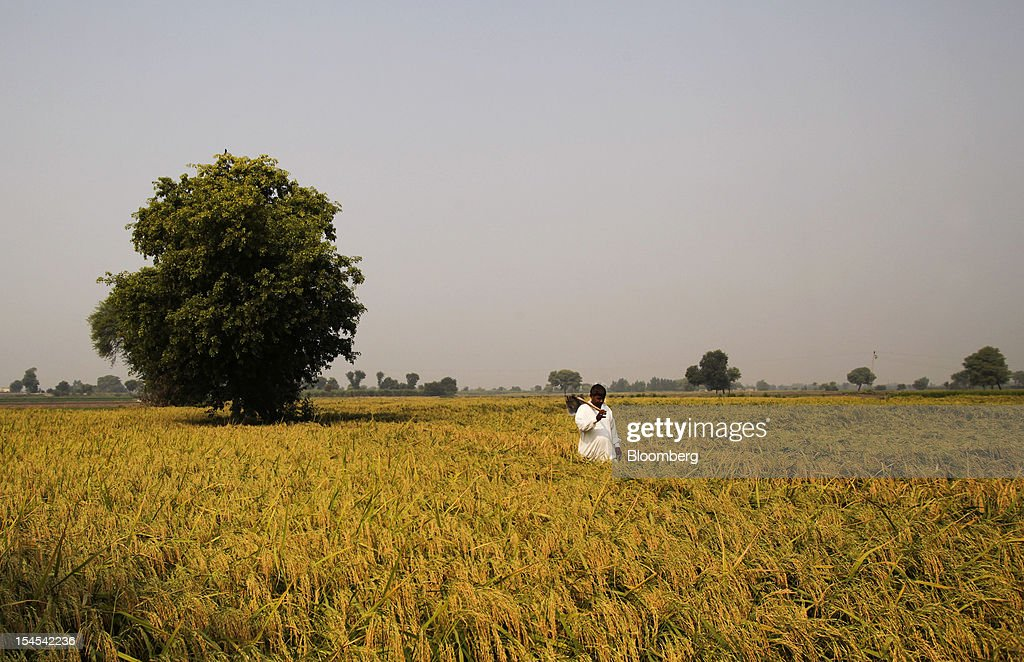 A farmer walks through a field of rice ready for harvest in the Chiniot district of Punjab province, Pakistan, on Saturday, Oct. 13, 2012. Rice exports from Pakistan, the fourth-largest shipper, are set to rebound from November with the new harvest after a rally in domestic prices and cheaper supplies from India cut shipments, a traders' group said. Photographer: Asad Zaidi/Bloomberg via Getty Images