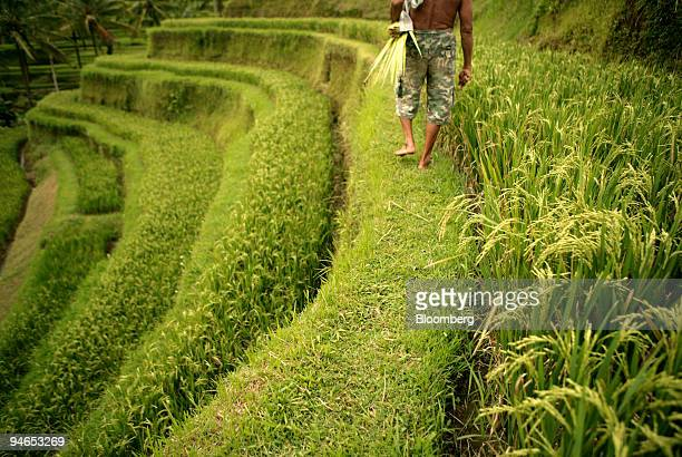 A farmer walks through a rice field in Ubud Indonesia April 10 2007 Indonesia the world's thirdlargest rice producer may hold back exports of the...
