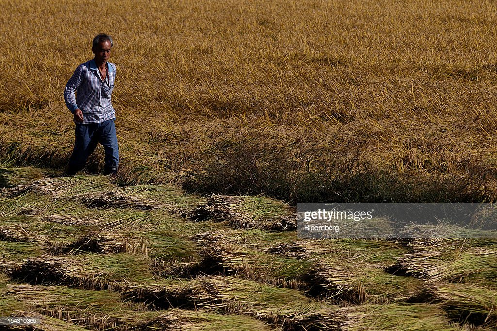 A farmer walks through a rice paddy field during harvest in Icheon, South Korea, on Thursday, Oct. 11, 2012. South Korea will boost production of rough rice to 5.801 million metric tons in the year that starts Nov. 1, compared with an estimated 5.616 million a year earlier, the U.S. Department of Agriculture's Foreign Agricultural Service said on Aug. 2 in a report posted on its website. Photographer: SeongJoon Cho/Bloomberg via Getty Images