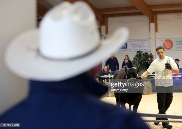 A farmer watches as a heifer is presented in an annual heifer auction on April 11 2017 in Gross Kreutz Germany Around 80 Angus Charolais Hereford...