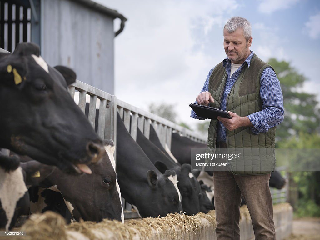 Farmer with digital tablet inspecting cows whilst feeding from trough on dairy farm