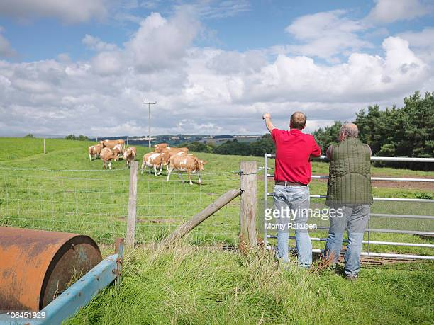 Farmer with Guernsey cows