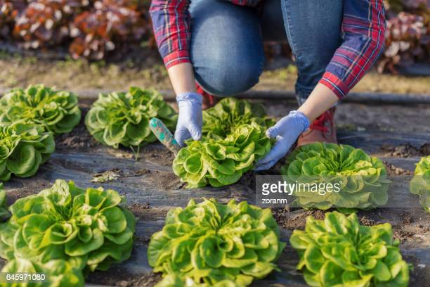 Farmer with lettuce