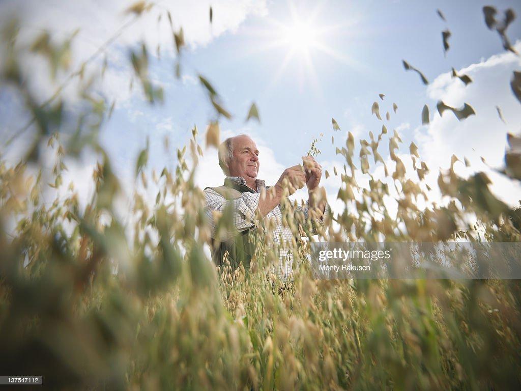 Farmer with oats (Avena sativa) in field : Stock Photo