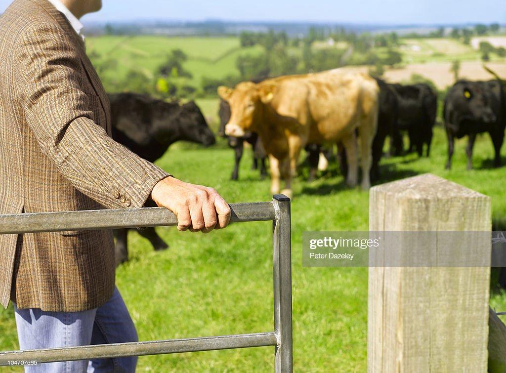 Farmer with organic cows : Stock Photo