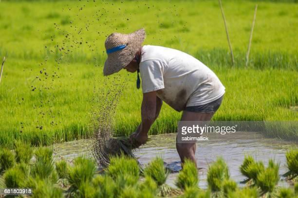 Farmer working at rice field, Myanmar