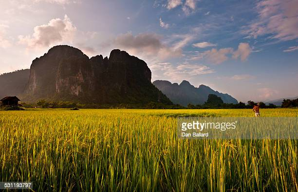 A farmer working in a field of rice with mountain peaks and mist in the background.  Vang Vieng, Laos, Asia.