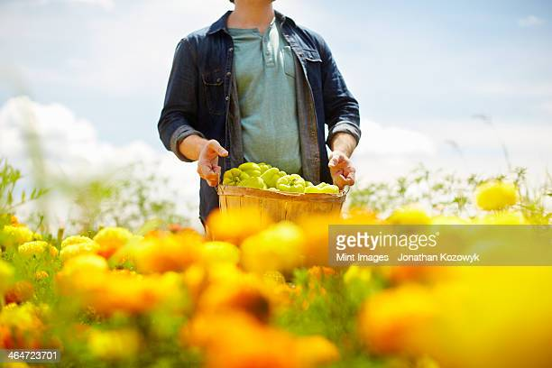 A farmer working in his fields in New York State. A yellow and orange organically grown flower crop.