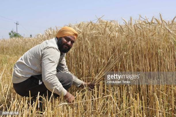 A farmer works at a wheat field on the occasion of Baisakhi festival on April 13 2017 in Ludhiana India Baisakhi is a historical and religious...