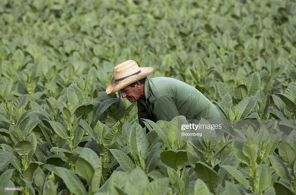 A farmer works in a field of tobacco plants on a plantation near Pinar del Rio, Cuba, on Monday, Jan. 14, 2013. In a country where the average monthly salary is $19, according to Cuba's statistics agency, even buying an airplane ticket will be beyond the reach of most of the island's 11 million residents as President Raul Castro begins easing travel rules on the communist island. Photographer: Andrey Rudakov/Bloomberg via Getty Images
