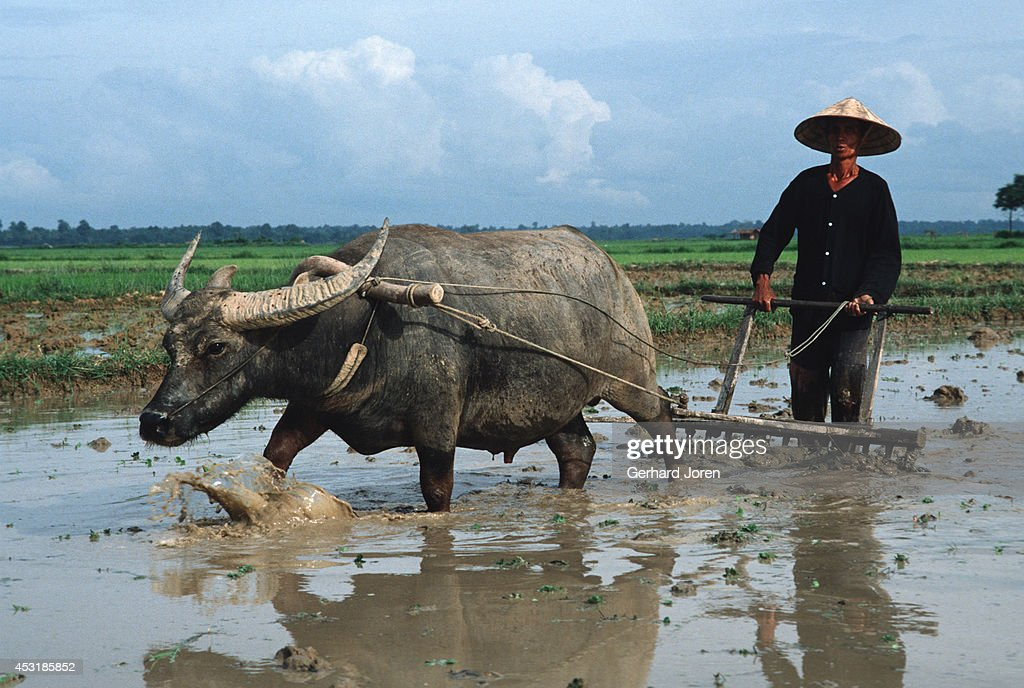A farmer works with his water buffalo in a rice paddy just outside Vientiane