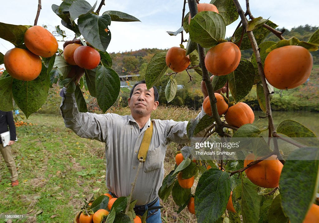 Farmer Yasushi Okazaki (50) harvests ripen persimmons that he has just hearvested on November 13, 2012 in Date, Fukushima, Japan. Though the farmers had carried out decontamination work, radioactive substance exceeding the threshold was detected from the experimental dried persimmon production this year again. Farmers have to throw them away to be paid compasation from Tokyo Electric Power Co (TEPCO).