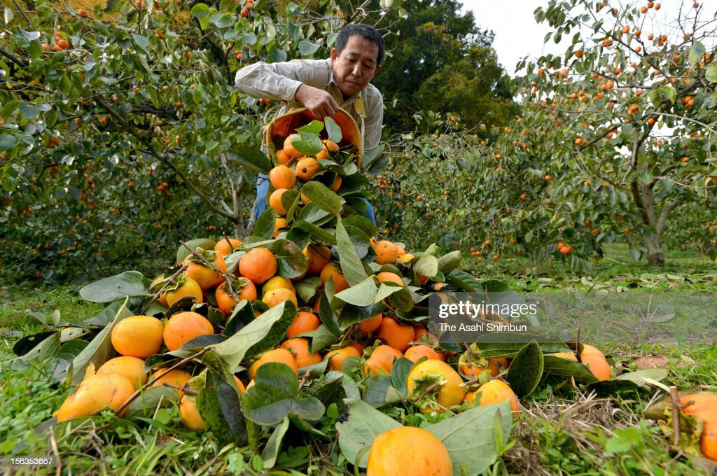 Farmer Yasushi Okazaki (50) throws away ripen persimmons that he has just harvested on November 13, 2012 in Date, Fukushima, Japan. Though the farmers had carried out decontamination work, radioactive substance exceeding the threshold was detected from the experimental dried persimmon production this year again. Farmers have to throw them away to be paid compasation from Tokyo Electric Power Co (TEPCO).