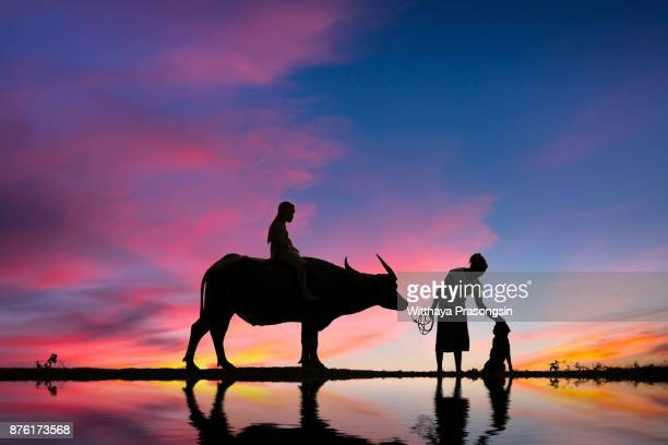 Farmers and their cattle back home in the sunset.