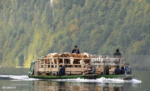 Farmers and their cattle on a float make their way over the Koenigs lake during the socalled 'Almabtrieb' returning from the mountain pastures on...
