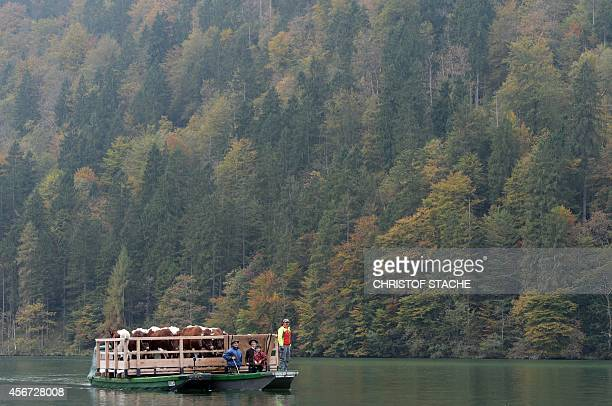 Farmers and their cattle on a float make their way over the Koenigssee lake during the socalled 'Almabtrieb' returning from the mountain pastures on...