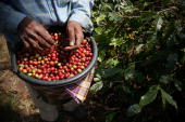 Farmers are choosing coffee before being eaten by civet during the production of Civet coffee the world's most expensive coffee in Bondowoso on...