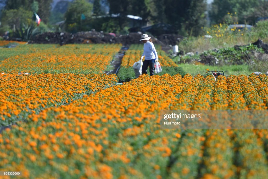 Farmers are seen during the harvest of the flower of Cempasuchil for distribution in markets to decorate the offerings on the Day of the Dead, more than 250 thousand flowers of Cempasuchil 'Tagetes erecta' are harvested on the year on October 06, 2017 in Xochimilco, Mexico