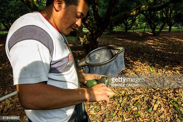 Farmers are seen on a tractor during the harvest of avocado at an orchard in Uruapan municipality Michoacan State Mexico on April 6 2016 Since the...