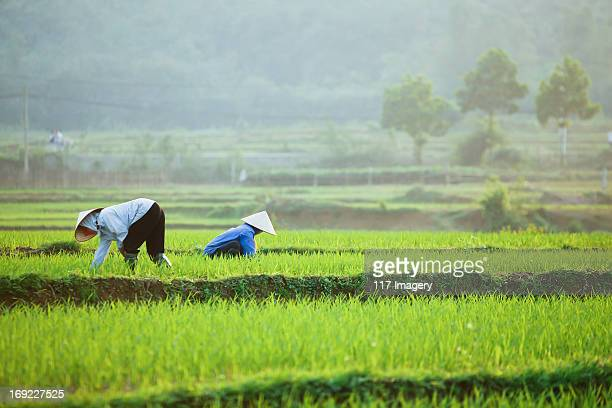 Farmers at work in rice paddy - North Vietnam