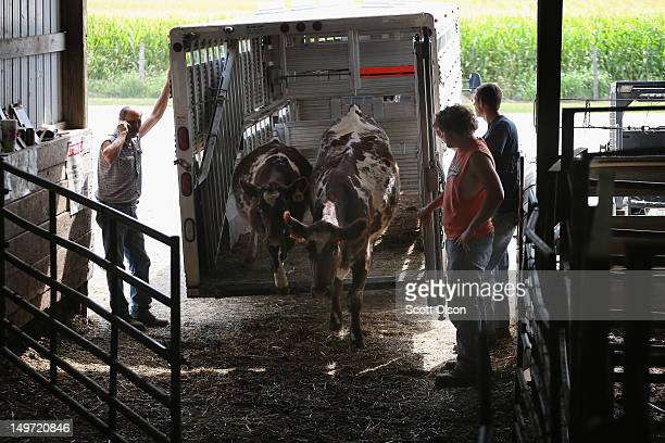 Farmers bring cattle to be auctioned at the Fairview Sale Barn on August 2 2012 in Fairview Illinois Drought has forced many farmers in the area and...