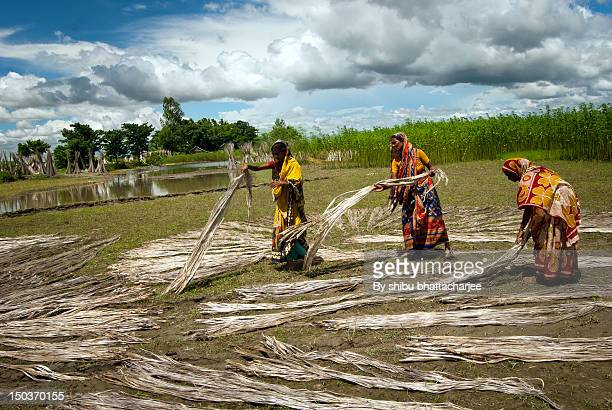 Farmers busy to dry Jute