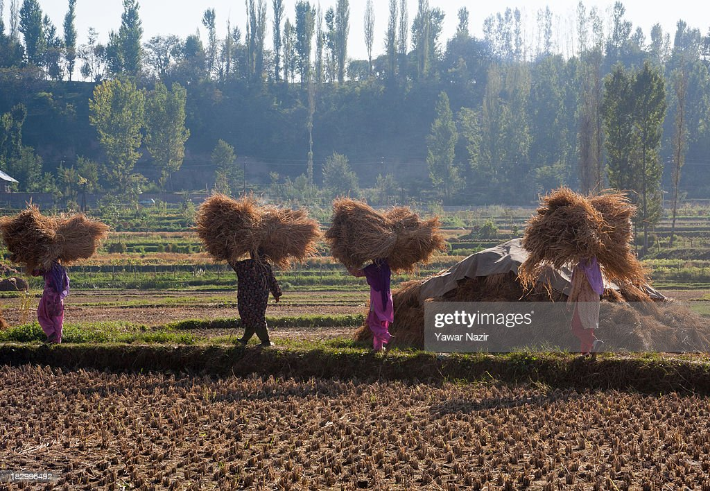 Farmers carry hay bales in paddy fields after harvesting rice on the outskirt October 03, 2013 in Sriinagar, the summer capital of Indian administered Kashmir, India. Paddy production has gone down in Kashmir during the recent years largely due to unplanned and rapid urbanisation, with the area under rice crop cultivation coming down from 122 hectares in 2010-11 to 112 hectares in 2013, according to an economic survey to the state government.