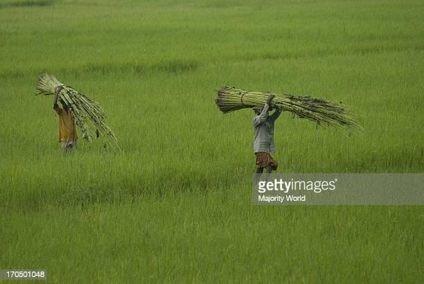 Farmers carrying bundles of jute plants on their head Singair Manikganj Bangladesh July 31 2009 Jute also known as the golden fiber of Bangladesh...