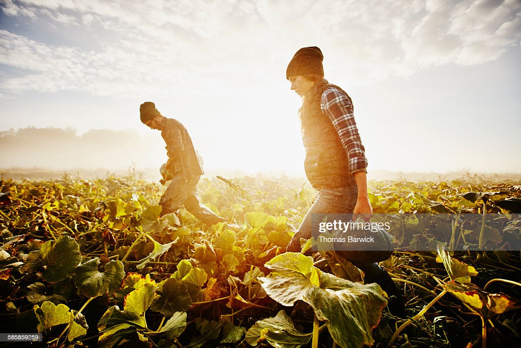 Farmers carrying organic squash during harvest : Stock Photo