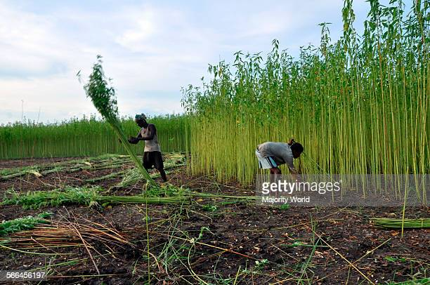 Farmers collect jute stalks from the fields Eighty percent of the world's high quality jute grows in Bangladesh Narail Jessore Bangladesh July 31 2011
