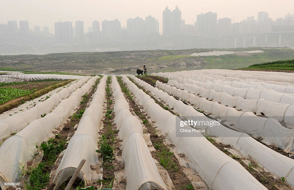 Farmers cover young vegetable plants with plastic film at a field on April 7 2008 in Chongqing Municipality China China's State Council agreed on...