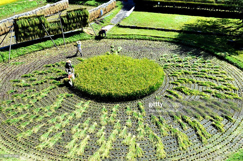 Farmers crop at 'Kuruma-da' or circle rice paddy on September 16, 2013 in Takayama, Gifu, Japan. The rice paddy is registered as Gifu Prefecture's significant intangible folk cultural asset.