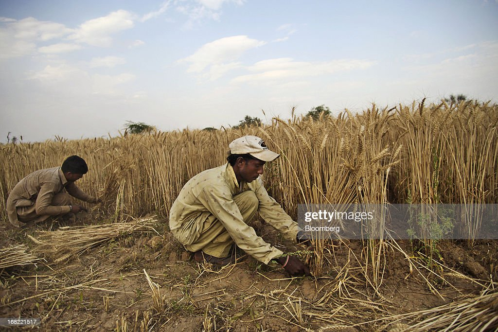 Farmers cut wheat with a sickles during a crop harvest in the Chakwal district of Punjab province, Pakistan, on Saturday, May 4, 2013. Pakistan wheat output to increase this year, the U.S Department of Agriculture's Foreign Agricultural Service said in a report posted today on its website on April 4. Photographer: Asad Zaidi/Bloomberg via Getty Images
