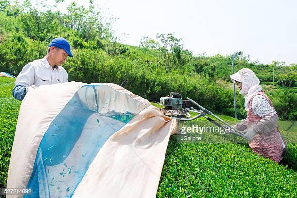 Farmers cutting a crop of green tea leaves