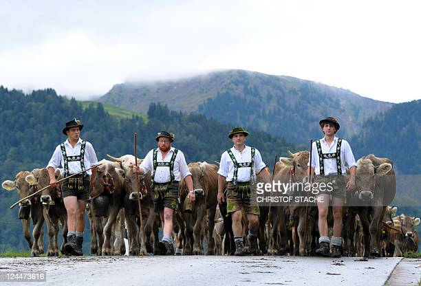 Farmers drive their cattle down to the valley during the socalled Allgaeuer Viehscheid drive on September 9 2011 near the village of Oberstaufen...