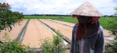 Farmers dry paddy on a rice field in Phu Nhuan district southern province of Tien Giang on July 6 2010 While drought and salt water intrusion blamed...