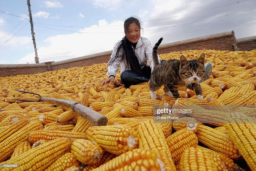A farmer's girl plays with a cat on a huge pile of corn on October 9, 2005 in Gongzhuling of Jilin Province, China. Corn is one of the major economic crops of Jilin Province, with its output accounting for about one seventh of the nationwide production. The corn yield in Jilin Province is expected to reach 19 million tons this year, according to state media.