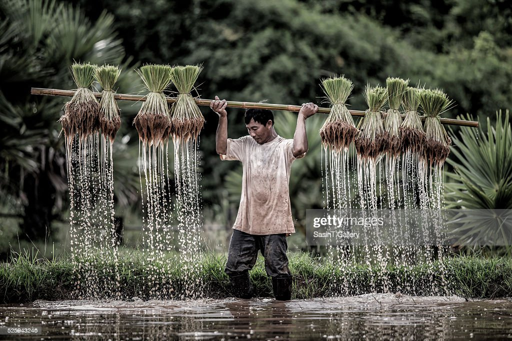 Farmers grow rice in the rainy season