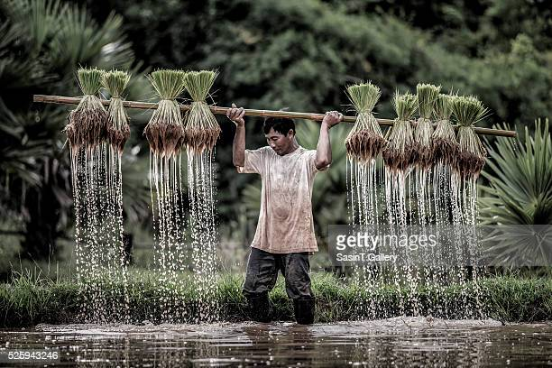 Farmers grow rice in the rainy season