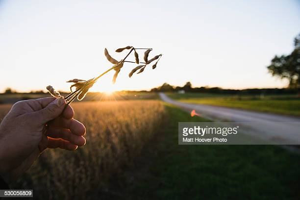 Farmers hand holding up soy bean plant at sunset, Missouri, USA