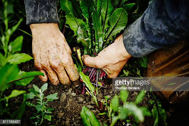 Farmers hands cutting dandelion greens