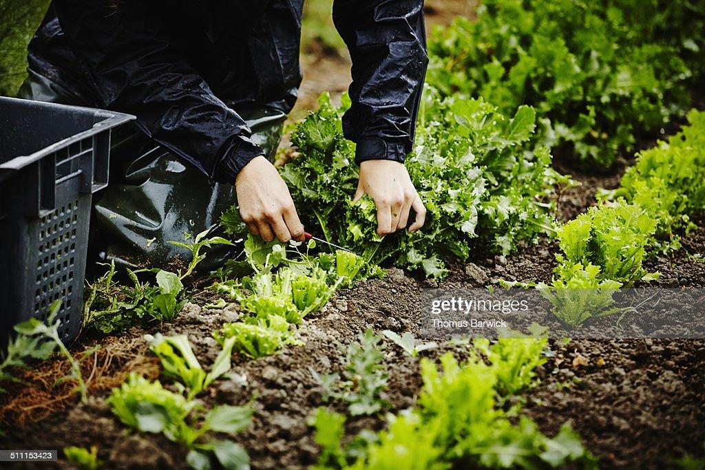 Farmers hands harvesting organic lettuce stems