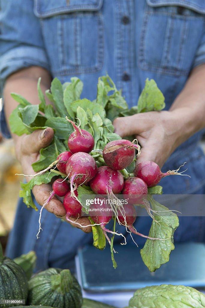 Farmer's hands holding radishes : Stock Photo