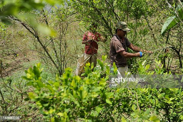 Farmers harvest coca leaves in a coca plantation in the mountains of the department of Cauca Colombia on June 21 2012 The department of Cauca was one...