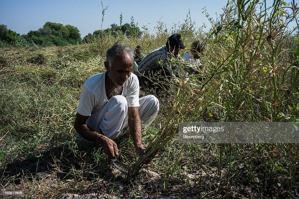 Farmers harvest guar on a farm in Kirmat Sarai village in the district of Jodhpur in Rajasthan, India, on Sunday, Oct. 28, 2012. Guar gum is used to blend materials used in fracking. Photographer: Sanjit Das/Bloomberg via Getty Images