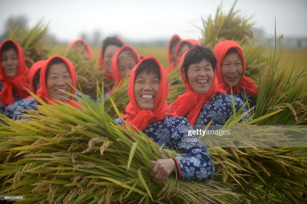 Rice Harvest In Taizhou