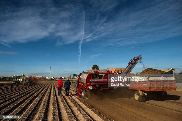 Farmers harvest Tiger nuts on tractors on January 18 2016 in Valencia Spain According to the Valencia's Tiger Nut Regulatory Council the cultivation...