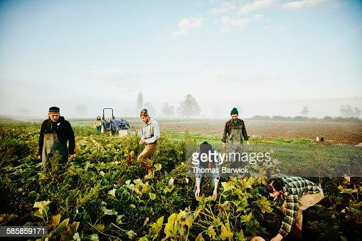 Farmers harvesting organic squash in field