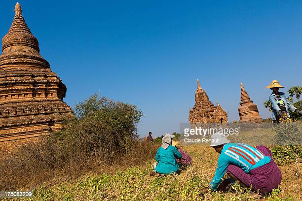 CONTENT] Farmers harvesting peanuts in the middle of the pagodas in Bagan Myanmar